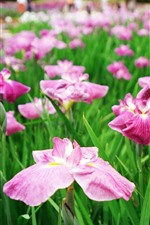 Some pink irises flowers
