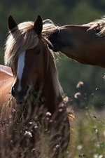 Preview iPhone wallpaper Two brown horses, wildflowers