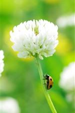 White clover flowers, ladybug