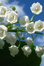 Preview iPhone wallpaper White lily of the valley, flowers, blue sky