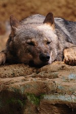 Preview iPhone wallpaper Wolf, rest, rocks