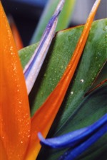 Preview iPhone wallpaper Bird of paradise flower, petals, colorful