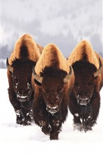 Preview iPhone wallpaper Bison, wildlife, snow, winter