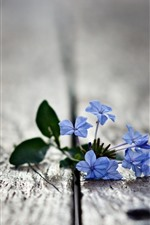 Blue little flowers, wood, hazy