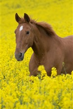 Preview iPhone wallpaper Brown horse, yellow rapeseed flowers