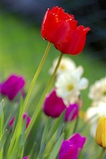 Preview iPhone wallpaper Colorful flowers, tulips, daffodils, spring