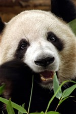 Preview iPhone wallpaper Cute panda eat bamboo, face, eyes