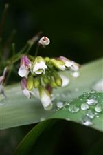 Preview iPhone wallpaper Dew, green leaf, little flowers