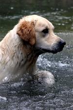 iPhone fondos de pantalla Perro nadando en el agua, río