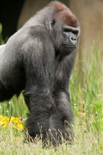Preview iPhone wallpaper Gorilla, grass, wildlife