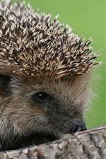 Preview iPhone wallpaper Hedgehog, stump