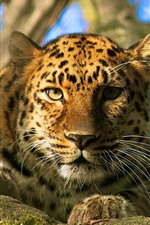 Preview iPhone wallpaper Leopard, rest, look, face, eyes, bokeh