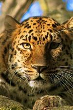 Leopardo, descanso, olhar, rosto, olhos, bokeh