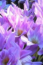 Many pink crocuses, petals