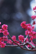 Preview iPhone wallpaper Pink plum flowers bloom, twigs, spring