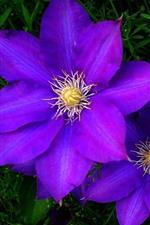 iPhone壁紙のプレビュー 紫のクレマチスの花、花びら