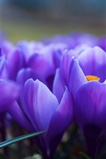Preview iPhone wallpaper Purple crocuses macro photography, petals