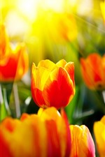 Preview iPhone wallpaper Red yellow petals tulips, sun rays, glare