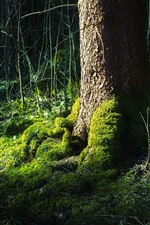 Preview iPhone wallpaper Tree, trunk, root, green moss, bushes