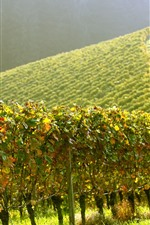 Preview iPhone wallpaper Vineyard, green, slope, sunshine