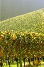 Vineyard, green, slope, sunshine