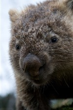 Preview iPhone wallpaper Wombat, wildlife, hazy background