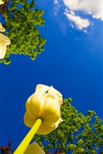 Preview iPhone wallpaper Yellow tulips close-up, blue sky, clouds