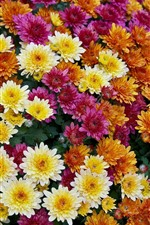 orange, yellow, red chrysanthemums, many flowers