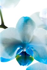 Preview iPhone wallpaper Blue and white petals phalaenopsis