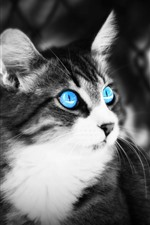 Preview iPhone wallpaper Blue eyes cat, black and white picture