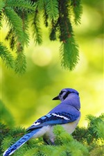 Preview iPhone wallpaper Blue feather bird, pine tree, green twigs