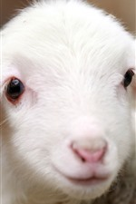 Preview iPhone wallpaper Cute white lambs, face, look
