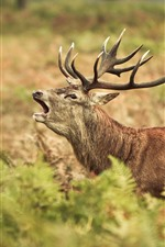 Preview iPhone wallpaper Deer, elk, yawn, fern