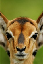 Preview iPhone wallpaper Deer, face, ears, wildlife