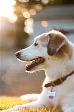 Dog, rest, meadow, sunlight