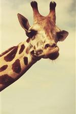 Preview iPhone wallpaper Giraffe, long neck, head