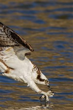Preview iPhone wallpaper Hawk, hunt fish, lake, water