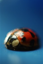 Preview iPhone wallpaper Ladybug close-up, blue background