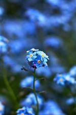 Vorschau des iPhone Hintergrundbilder Kleine blaue Blumen, vergiss mich nicht