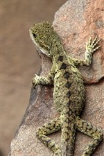 Preview iPhone wallpaper Lizard, rock