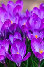 Preview iPhone wallpaper Many purple crocus bloom, petals, spring