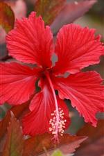 iPhone壁紙のプレビュー 1つの赤いハイビスカスの花のクローズアップ、花びら