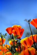 Preview iPhone wallpaper Orange poppy flowers field, hazy