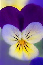 Pansies macro photography, petals, flowers
