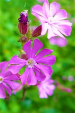 Close de flor rosa, pétalas, fundo verde nebuloso