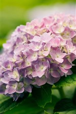 Preview iPhone wallpaper Pink hydrangea flowers, spring, hazy