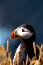 Puffin, bird close-up, grass