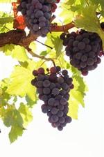 Purple grapes, green leaves, sunshine
