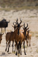 Preview iPhone wallpaper Some antelopes