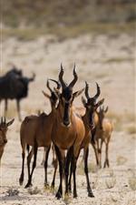 Some antelopes